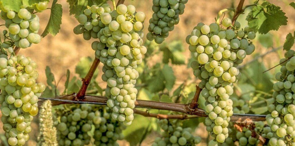 Zrozumieć Sauvignon Blanc